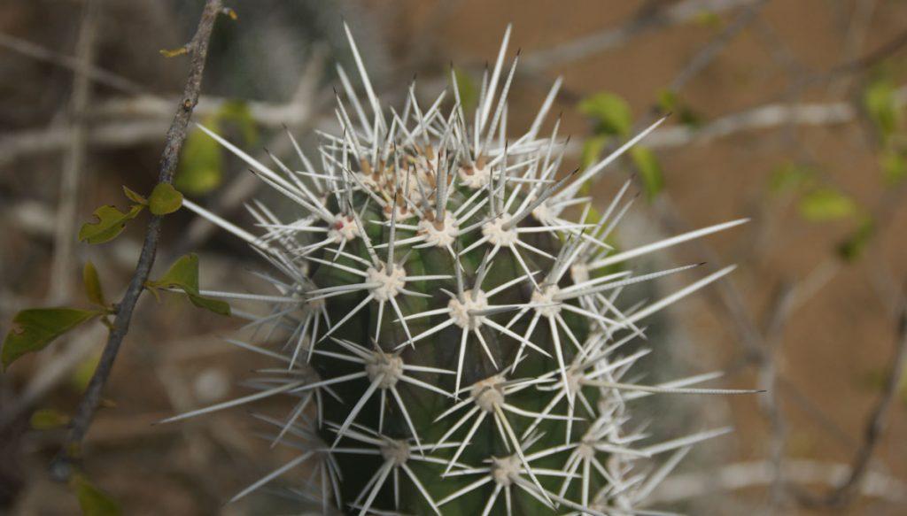 Cactus op curacao
