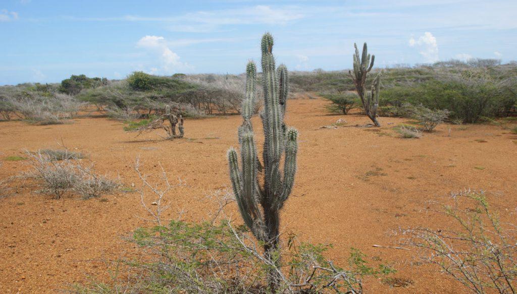 Cactus in curacao