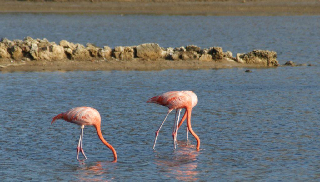 Flamingo's op Curaçao met hun hooft in het water
