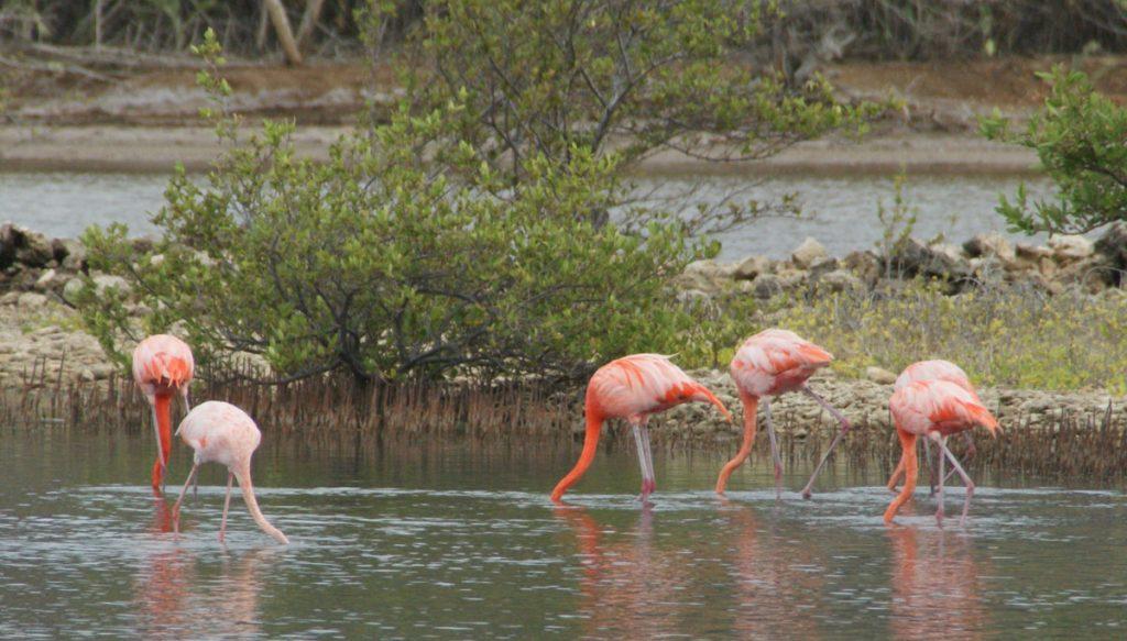 Flamingo's in Willibrordus opzoek naar eten.