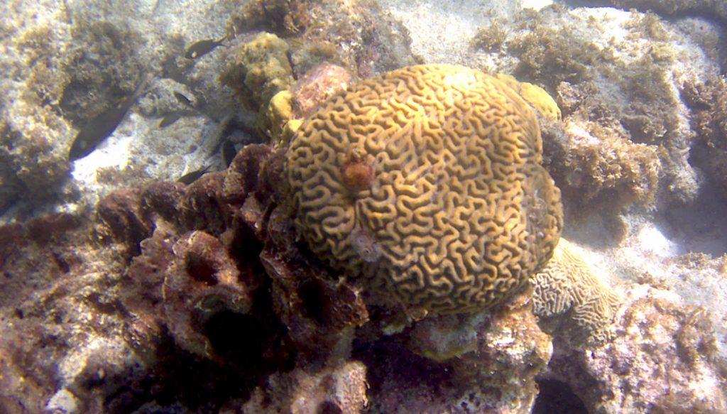 Hersenkoraal in de zee van Cas Abou