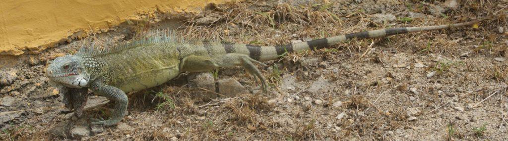 Iguana bij ingang receptie christoffelpark