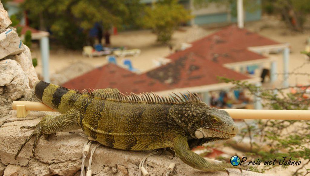 Leguaanen eten met je mij tijdens de lunch op Playa Lagun