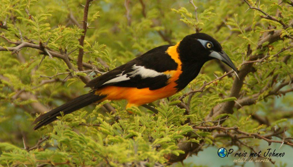 De troepiaal. De nationale vogel van Curaçao
