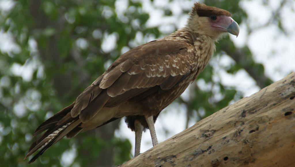 Warawara op een boom