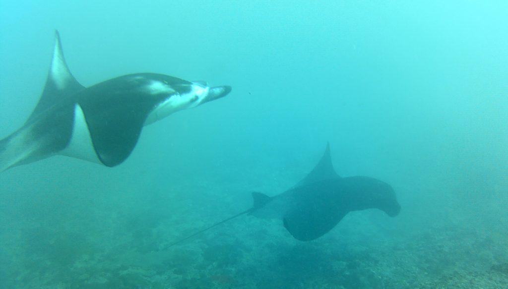 Tijdens de duik met manta roggen komt deze vaak langs