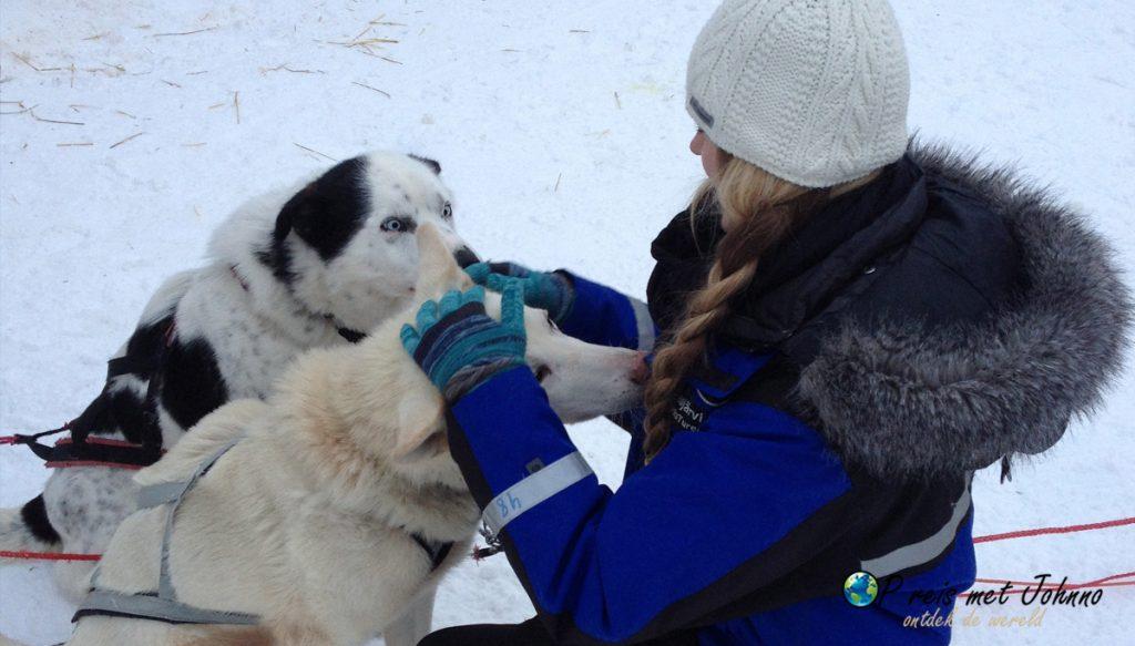 Zijn ze niet schattig de husky honden van de huskytocht