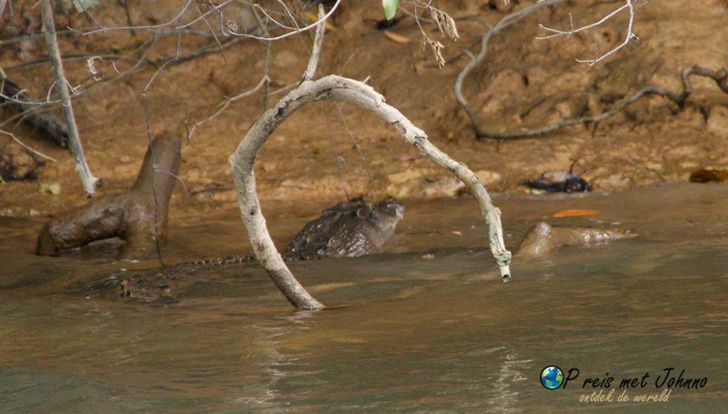 Een kleine krokodil in het daintree river in queensland