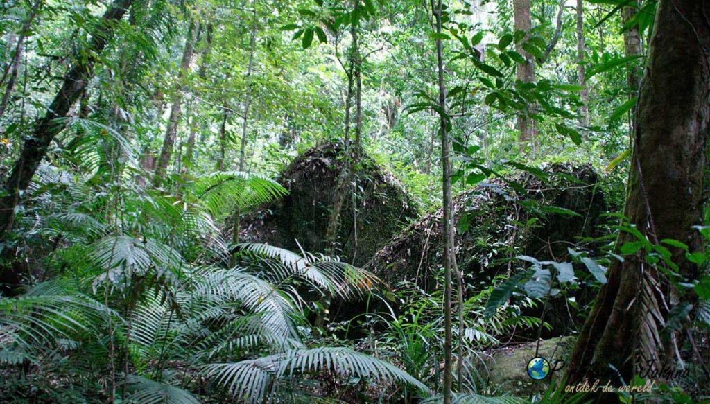 Daintree forest. het tropische regenwoud