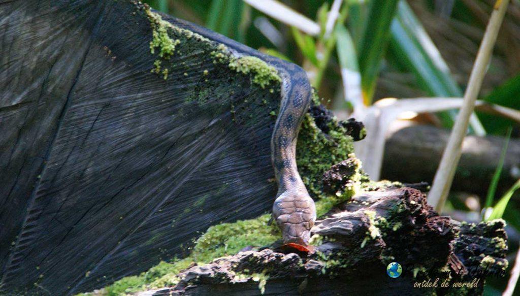 De python tijdens een van de hikes in daintree regenwoud