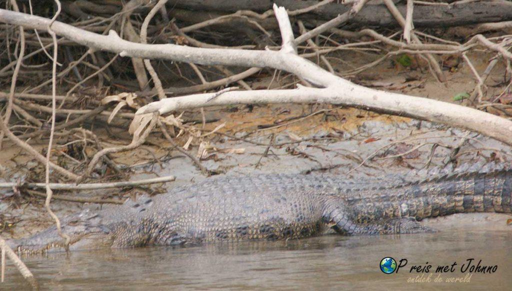 De eerste krokodel tijdens de krokodillen tour op de daintree rivier in het daintree regenwoud