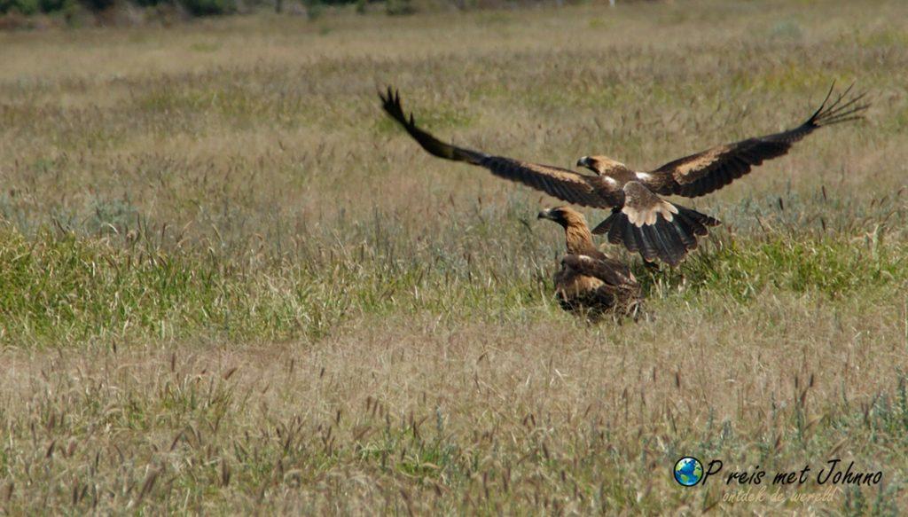 Zie de wedge tailed eagle?