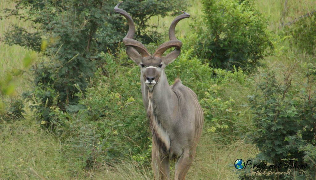 De kudu komt even kijken wat voor vrijwilligerswerk wij aan het doen zijn in Zuid-Afrika