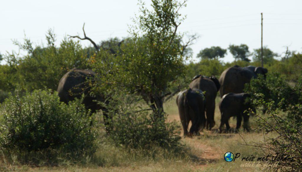 De olifanten lopen zo voor onze neus, terwijl wij spullen moeten op halen voro het vrijwilligerswerk in Zuid-Afrika