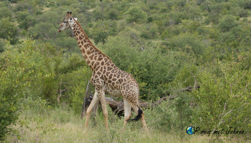 De giraffe. Het eerste dier wat ik zag tijdens mijn vrijwilligerswerk in Zuid-Afrika voor transfrontier Afrika