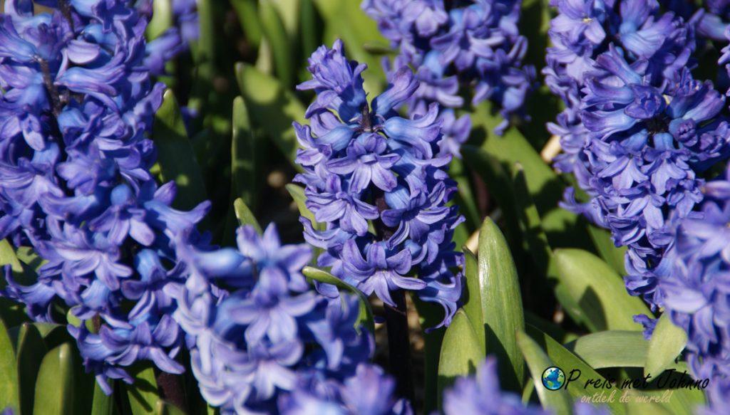 De blauwe Hyacint op de beste route langs de bollenvelden in Voorhout