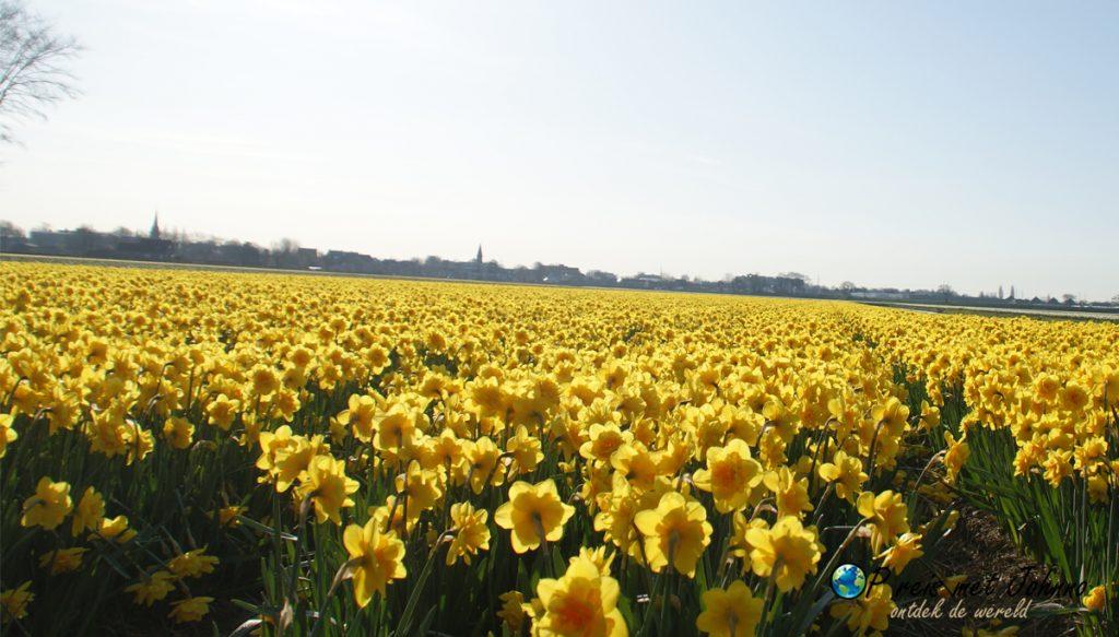 De narcis op de beste route langs de bollenvelden in Lisse