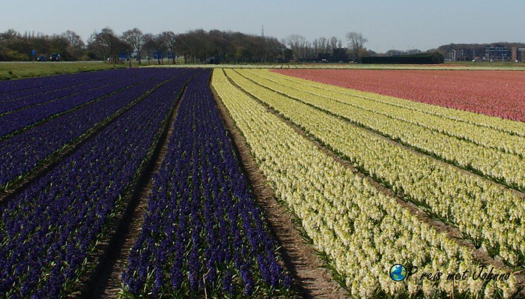 De hyacinten velden op de beste route langs de bollenvelden in De Zilk