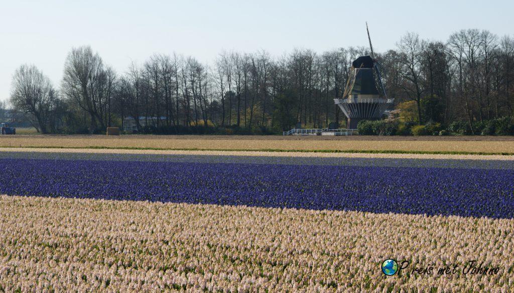 De hyacinten op de beste route langs de bollenvelden in Lisse bij keukenhof