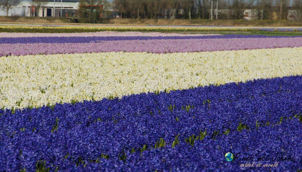 De hyacintenvelden op de beste route langs de bollenvelden in Voorhout