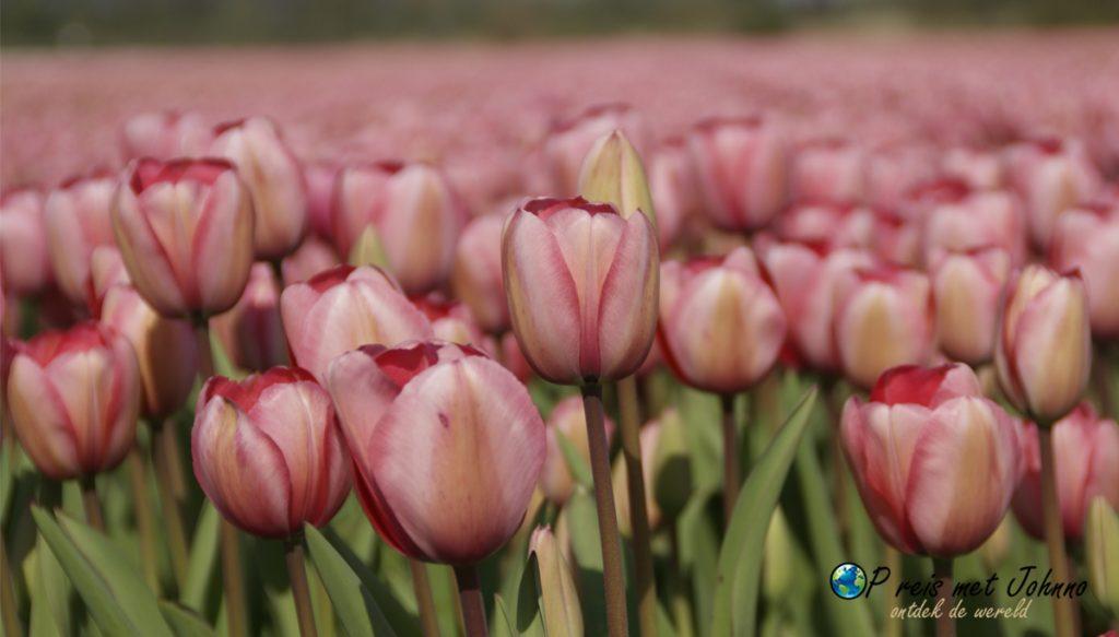 De roze tulp op de beste route langs de bollenvelden in voorhout