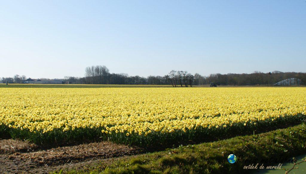 De Narcissen op de beste route langs de bollenvelden in Lisse