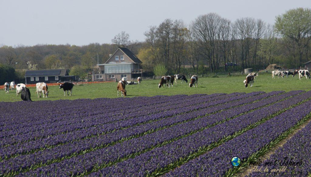 De hyacinten en koeien op de beste route langs de bollenvelden in De Zilk