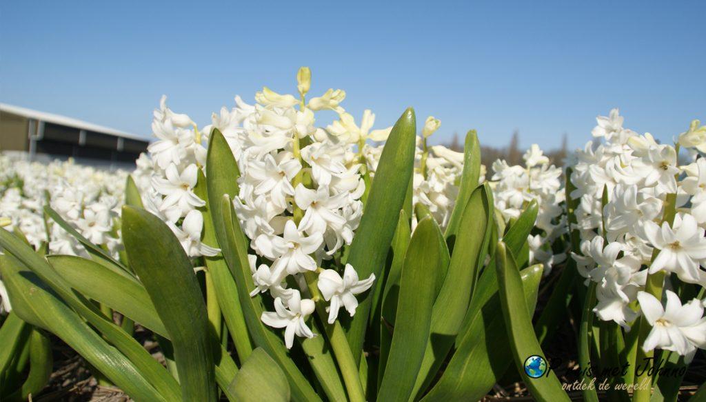 De witte hyacint op de beste route langs de bollenvelden in Voorhout